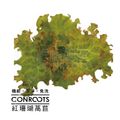 紅珊瑚萵苣_Red Coral Lettuce