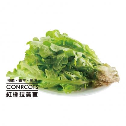 紅橡拉萵苣