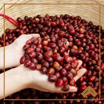印尼 皇后曼特寧 半水洗生豆
