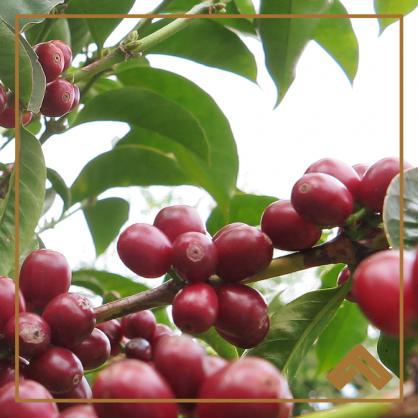 Indonesia Tano Batak Mandheling Semi-washed Green Beans