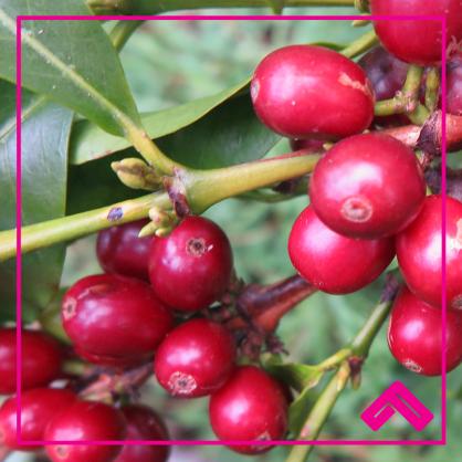 Ethiopia Guji Oromia G1 Natural Green Beans