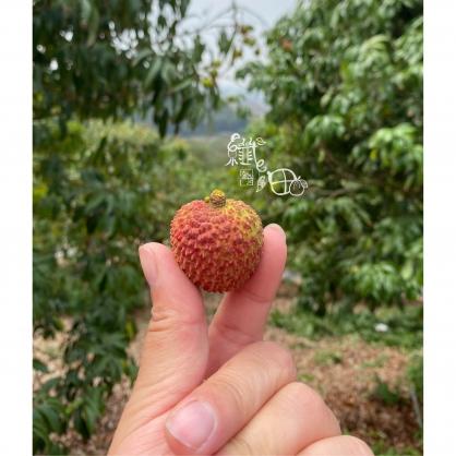 【預購】大樹【頂級】玉荷包3斤裝